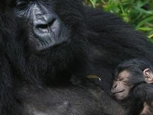Gorilla Uganda Safaris Photos