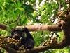Chimpanzee In Kibale National Park