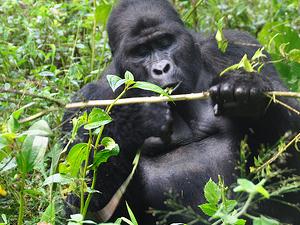 Gorilla Trekking Uganda Photos
