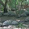 Giant Tortoise On The Island