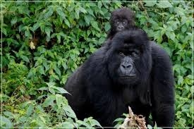 Gorilla Trekking Safari-Uganda Photos