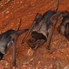 Critically Endangered Wroughtons Free Tailed Bat Near Bhimagad Wildlife Sanctuary