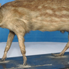 Taxidermied Mouse Deer Palta North 2 4 Parganas 2 0 1 2 0 4 1 1 9 5 7 9