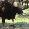 Gaur Or Indian Bison Bull
