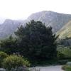 A Cape Beech Tree