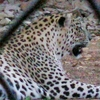 Leopard In Its Enclosure