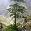 Deodar Trees Standing On The Peaks Of Chattrari Village