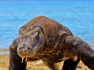 Komodo Dragon Tour Photos