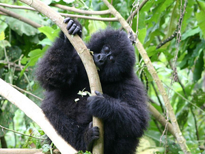 Rwanda Gorilla, Primates & Wildlife Tour Photos