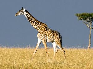 Last Munite Deal: Masai Mara/Amboseli Kenya Wildlife and Holidays Safaris Photos