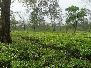 Tea Garden & Tribal Tour - Dhaka City & Sylhet City Tour Photos