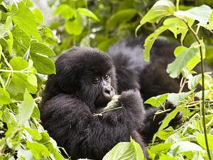 Uganda Gorilla Tracking & Wildlife Safari Photos