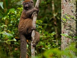 Lemurs and Helmet Vanga Tour Photos