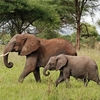 African Bush Elephant - Tanzania
