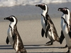 African Penguins At Boulders Beach SA