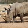 Al Ain Zoo Rhino