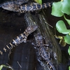 Alligator Babies At Gatorland FL