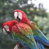 Amazon Macaws, Jurong Bird Park