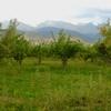 Apple Orchard - Kyrgyzstan