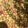 Apples Of Nawabagh