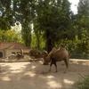 Camels At Artis