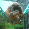Orangutan At Artis