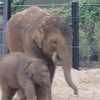 Asian Elephants Anak And Baby