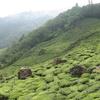 A Tea Garden On The Way To Rock Garden