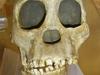 Australopithecus Africanus (Hominid Reconstruction)