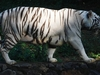 A White Tiger At Arignar Anna Zoologial Park