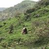 Baboons @ Geech Abys - Semien Amhara ET
