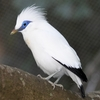 Bali Starling In Aviary At Hong Kong Park