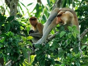 6 Days And 5 Nights Great Orangutan Adventures Trip Photos