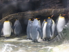 The King Penguins