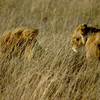 Big Cats Safaris