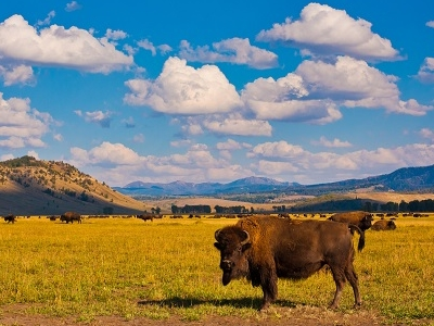 Bison Paradise Yellowstone NP - WY
