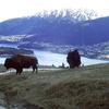 Bisons @ Queenstown - Otago NZ