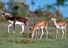 Black Bucks In Taptapani