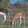 Blackbuck National Park - Male/female