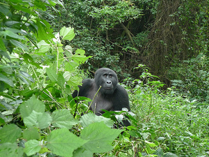 Friends Nature Safaris 5 Days And 4 Nights Gorilla Tracking