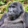 Bwindi Mountain Gorilla In Uganda