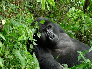 3 Days Uganda Gorilla Safari Express Photos
