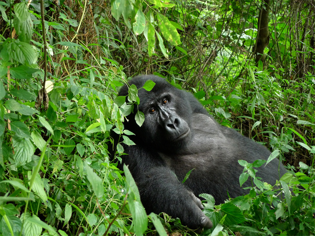 3 Days Uganda Gorilla Safari Express Photos