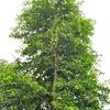 Bili Tree