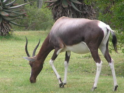Bontebok At Bontebok National Park