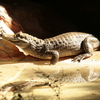 Caimans At The Caiman Exhibition
