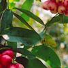 Cai lun Orchard