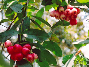 Cai Mon Orchard