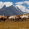 Camel Herd & Altay Mountains In Mongolia