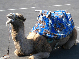 Camel trekking Photos